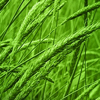 black-grass200x200.jpg