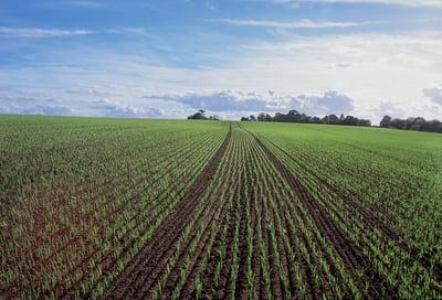 Emerging winter barley crop in sloping field