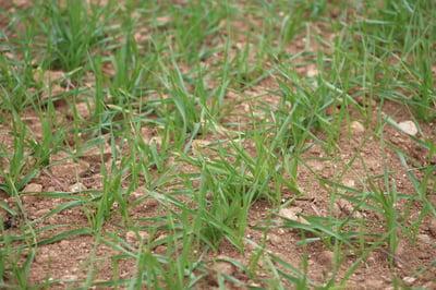 Spring Barley close up, Lincs, 15.04.2015